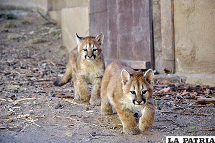 Yara y su hermana, meses después de su nacimiento en el Zoológico Andino