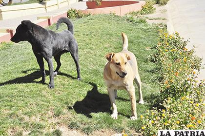 Colocado de chips a canes deberá ser responsabilidad de dueños /LA PATRIA ARCHIVO
