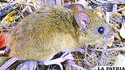 La enfermedad es transmitida por un roedor que habita en el lugar de la epidemia /panamericana.bo