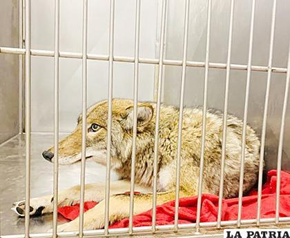La captura de un coyote que se cree que puede ser el que hirió a un niño de 6 años /EFE