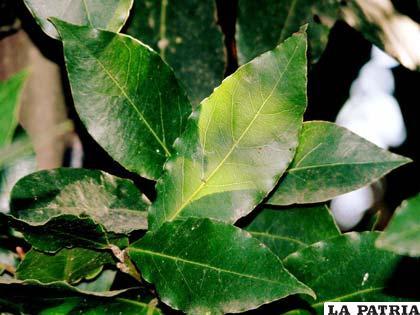 Las hojas de laurel sirven como cataplasma en algunas enfermedades dérmicas o de articulaciones