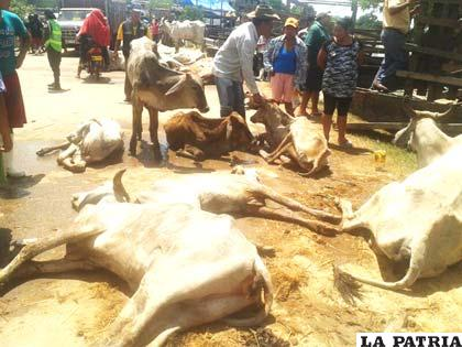 Mueren varias cabezas de ganado por intensas lluvias