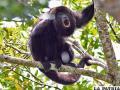 Investigan muerte de 44  monos aulladores en Ecuador