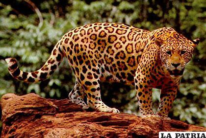 Solo 64.000 animales de esta especie sobreviven y están en peligro de extinción