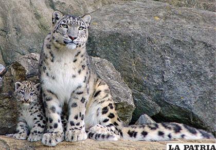 Una bella ejemplar de leopardo de las nieves con su cachorro