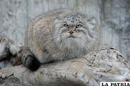 El gato de Pallas también es conocido como manul