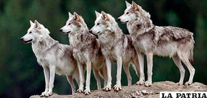 Se prevé matar hasta 40 ejemplares de lobos en un año