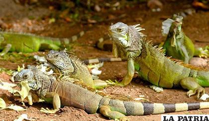 La muerte de las iguanas redujo en cantidad de 30.000 a 15.000 /LAOPINION.COM
