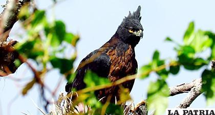 Las que están bajo peligro incluyen a especies como el cóndor andino / i0.wp.com/elnuevodiario.com