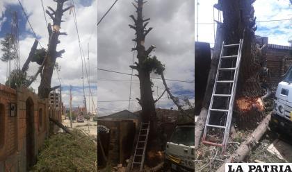 Autoridades investigan la tala de un pino de más de 20 años de vida /GAMO