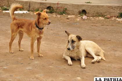 Perros callejeros, propensos a la rabia canina