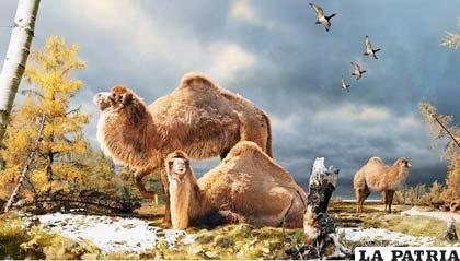 Antes los camellos habitaban bosques boreales