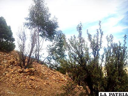 Así lucen algunas especies que formaron parte del proyecto de arborización en el cerro Pie de Gallo