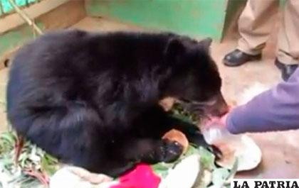 Ajayu durante su proceso de recuperación en el zoológico