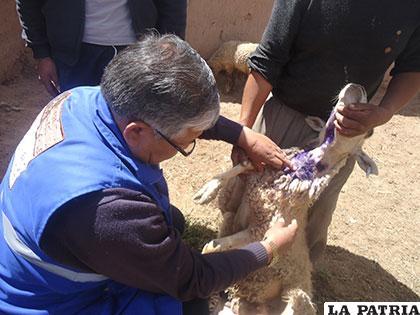 Ernesto Vásquez revisa a una de las ovejas atacadas por perros /ZOONOSIS SEDES