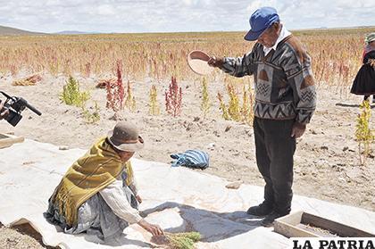 Muchos municipios se están dedicando a la cosecha de la quinua /LA PATRIA /ARCHIVO