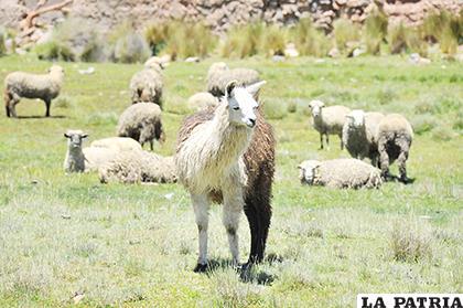 En otros sectores priorizan la crianza de camélidos /LA PATRIA /ARCHIVO