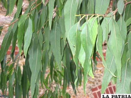 Para combatir las enfermedades invernales, el eucalipto es uno de los medicamentos más requeridos