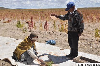 Se debe mejorar cifras de consumo de quinua en Bolivia