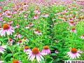 La Echinacea es una de las plantas medicinales más reconocidas en el mundo por sus propiedades antivirales y antibacterianas