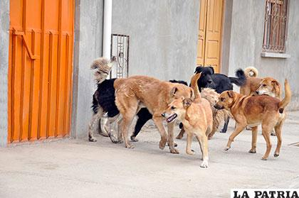 Perros vagabundos que no son vacunados pueden contraer rabia canina