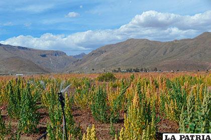Buscan formas de paliar precios de la quinua /GAMO