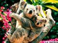 Estudio advierte que el koala  podría desaparecer en 20 años