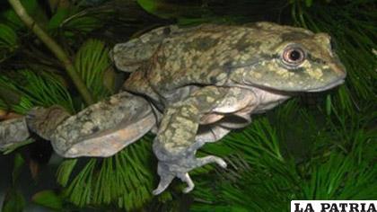 Entre los animales más traficados están la rana acuática jaspeada