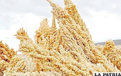 Este año se tiene buena producción de quinua /LA PATRIA