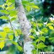 El sándalo un árbol cuyo aceite purifica el espíritu