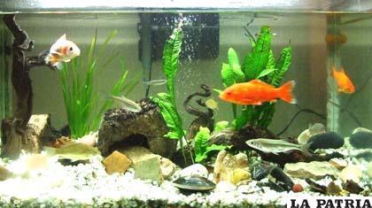 Tener peces como mascotas es una actividad delicada - Peces para tener en casa ...