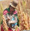 Industrialización de quinua favorecerá a familias productoras