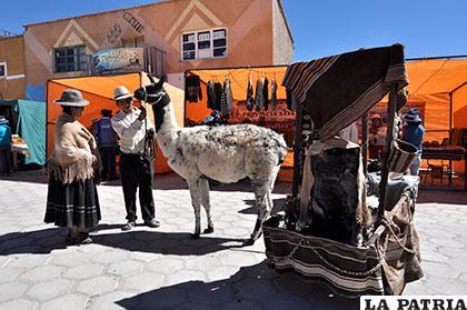 En Curahuara sufren pérdida de ganado camélido, por sequía /ARCHIVO