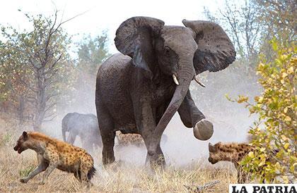 Los elefantes africanos son algo más grandes que los de otras regiones
