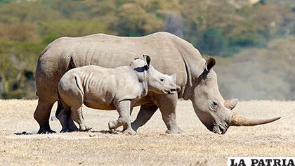 El rinoceronte blanco pesa aproximadamente 2.300 kilogramos