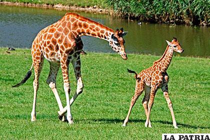 La jirafa llega a pesar 1.500 kilogramos