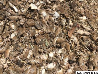 Pese a la gran cantidad de ratones muertos, Australia sufre por su invasión /INFOBAE