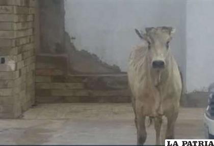Una de las vacas sueltas en Santa Cruz /RR.SS.
