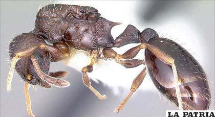 Las hormigas T. Longispinosus pueden distinguir claramente entre diferentes especies de intrusos. Foto: Antweb