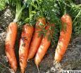Semilla certificada de zanahoria  se comercializó en Soracachi