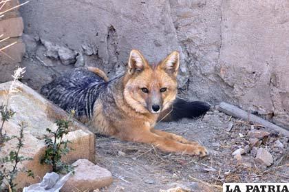Los zorros son animales solitarios por naturaleza