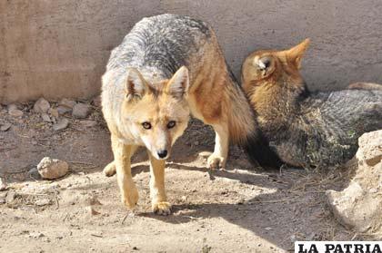 El Zoológico Andino de Oruro, cobija a seis hermosos ejemplares