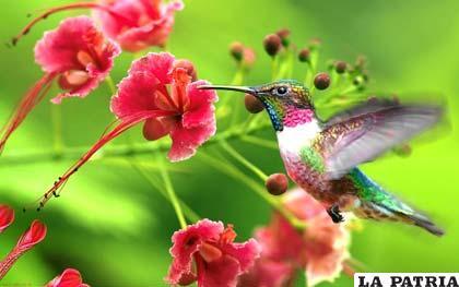 El pequeño pero goloso colibrí