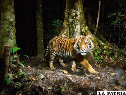 El tigre es el felino más hermoso del planeta