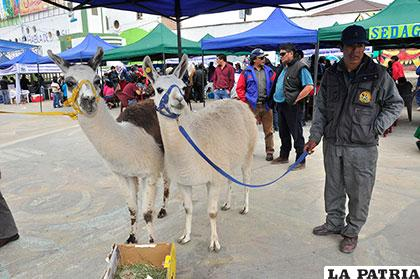 Según expertos, la carne de llama producida en Oruro es la mejor de Sudamérica