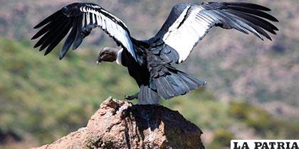 En Ecuador solo hay 104 aves de esta especie