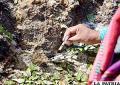 La medicina ancestral de los Sikuris de Taypi Ayca - Italaque
