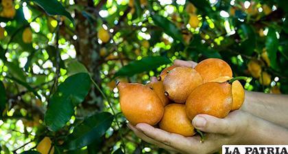 La planta, cascara y fruto son usados como remedio natural para varias afecciones /elcato.org