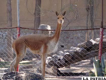 """El Zoológico Andino  tiene un nuevo huésped, la vicuñita """"Imicha"""""""