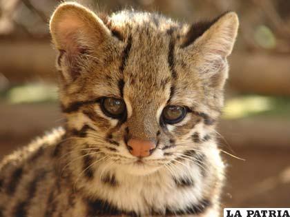 La oncilla o Leopardus Tigrinus, uno de los mamíferos medianos que posee Bolivia
